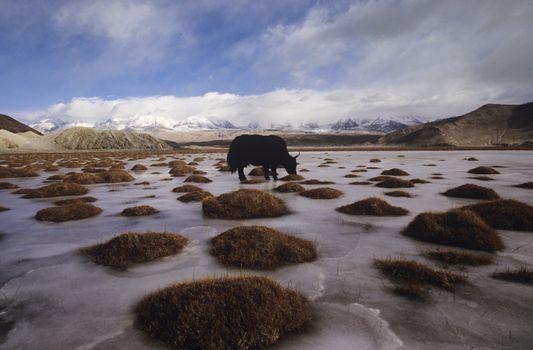 Yak Grazing on Tundra