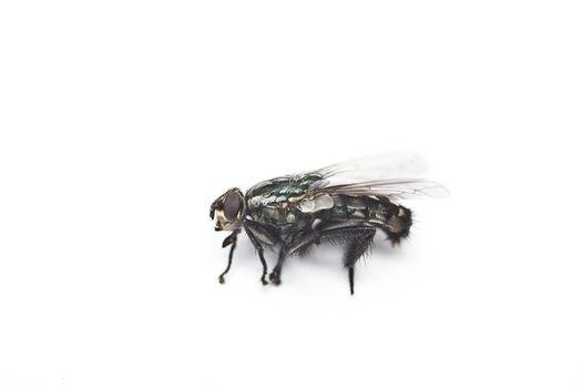 Housefly against white background
