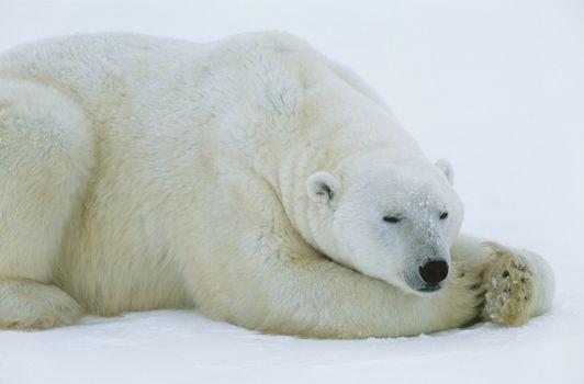 Polar Bear lying in snow Yukon