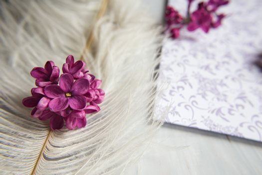 Lilac violet flowers on a white ostrich feather. A lilac luck - flower with five petals among the four-pointed flowers of bright pink lilac (Syringa) The magic of lilac flowers with five petals. Mock up