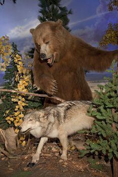 Brown bear attacking at coyote