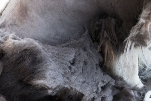 Closeup view of the unhealthy neglected coats of the dog
