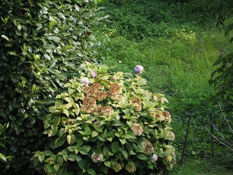 hortensia plant (Hydrangea)