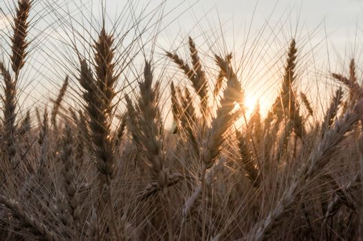 spikelets of wheat at sunset blurry nature background harvest