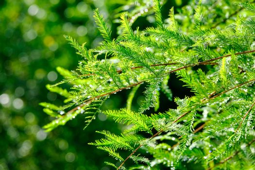 Dew drops on evergreen trees in morning light