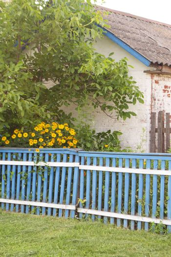 Summer yellow flowers along the blue fence in village