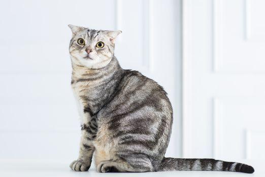 closeup american short hair cat