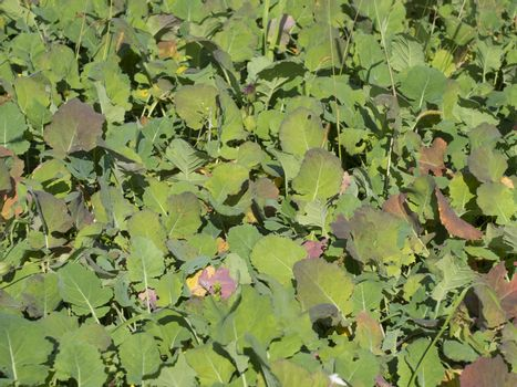 close up view on field with ripe turnips cabbage on sunny autumn day.