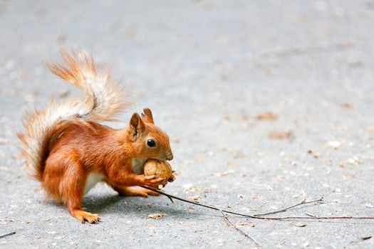 Orange squirrel grabbed a walnut with its paws and sits on a background of gray asphalt, image with copy space, selective focus.
