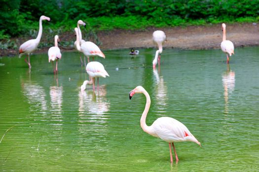 A family of large graceful pink flamingos in the shallow water of a forest lake shore. Wildlife concept. Selective focus.