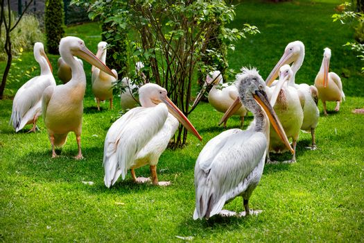 A flock of large white pelicans rests on a green lawn under soft sunlight, selective focus.