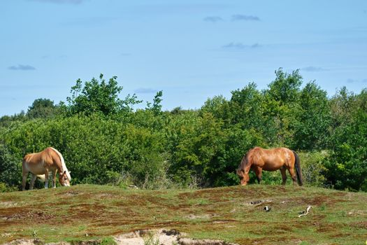 Exmoor horses grazing on the pasture. A horse breed used for nature conservation management.