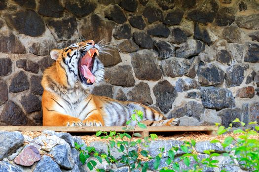 The tiger lies on a wooden platform near a stone wall with its mouth wide open and showing its tongue with powerful fangs.