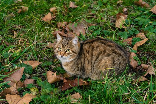 Cat is sitting on the green grass among the dry leaves. Autumn.
