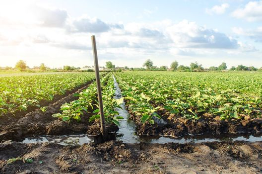 Management of watering process of eggplant plantation by irrigation canals system. Agriculture and agribusiness. Agronomy. Rural countryside. European farm, farming. Caring for plants, growing food.