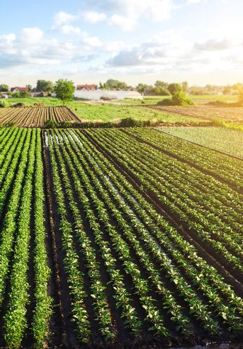 Landscape of green potato bushes plantation. Agroindustry and agribusiness. European organic farming. Growing food on the farm. Growing care and harvesting. Aerial view Beautiful countryside farmland.