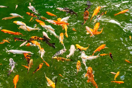 Colorful motley cyprinids and Japanese koi fish swim in the green clear transparent waters of a forest lake.