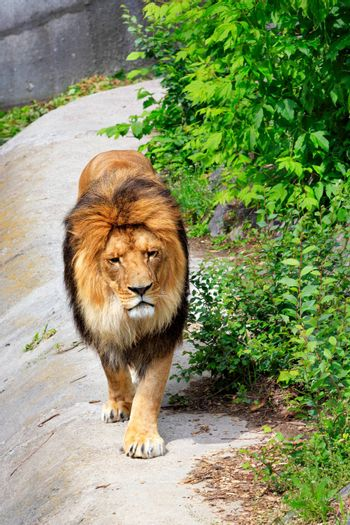 Portrait of a young lion, a lion with a big shaggy orange mane of hair walks along the road along green bushes in sunny daytime.