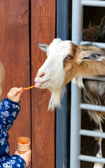 A little girl feeds a little kid who sticks his tongue out and cranes his neck from the stall to eat carrots from her hands, vertical image.
