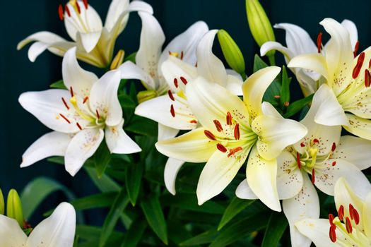 Bouquet of large flowers of a white lily with bright orange stamens in a low key on a dark green background with a slight blur, close-up, copy space, selective focus.