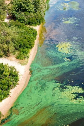 Blue-green algae cover the surface of the flowering water river with a film along the coast. River water pollution. Environmental problems.