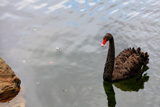 A beautiful brown swan with lush plumage and a bright red beak swims near the shore of a forest lake.