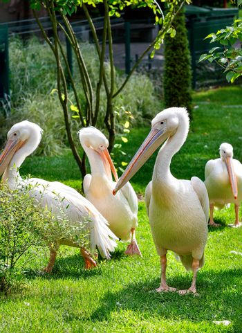 A flock of great white pelicans are resting on a green lawn under soft sunlight, vertical image, selective focus.