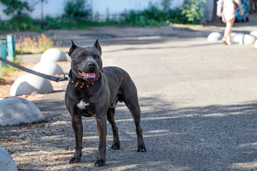 Beautiful portrait and robust build of a black Staffordshire Bull Terrier with a red collar walking down a city street.