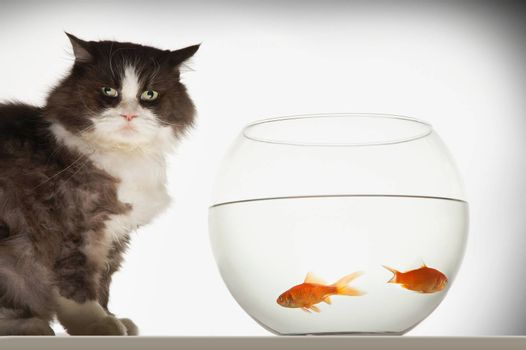 Cat sitting by fishbowl containing two goldfish