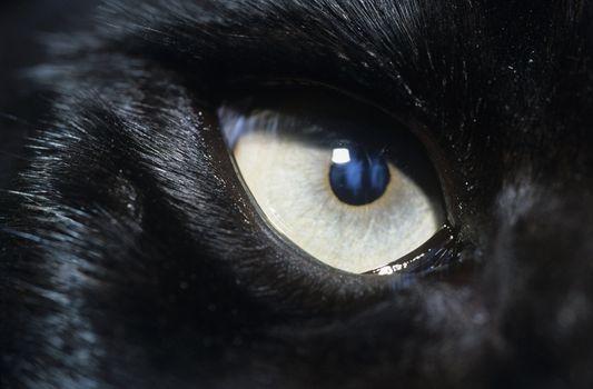 Eye of black wolf close-up