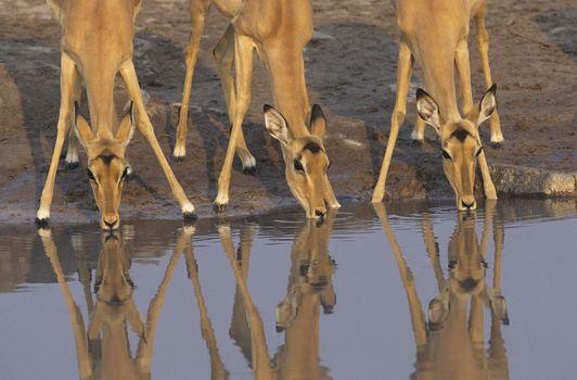 Three Gazelle drinking at waterhole