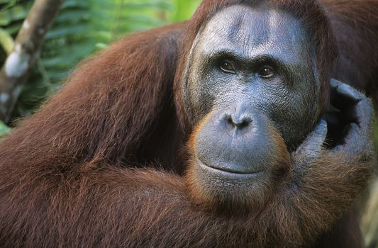 Orangutan scratching face close-up