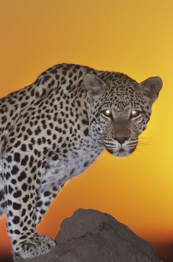 Leopard (Panthera Pardus) standing on rock at sunset