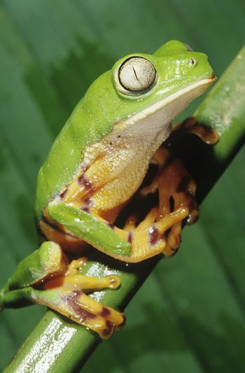 Green tree frog on stem close-up