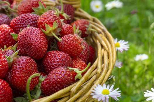 Rustic wicker basket with juicy ripe strawberries in a green meadow with flowering white daisies in spring in a close up side view
