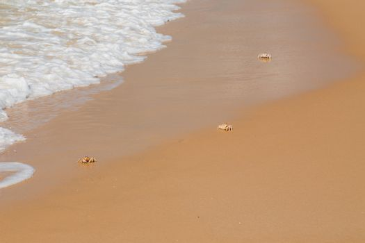 Ghost crabs (Ocypode spp.) on the beach, Mozambique, southern Africa