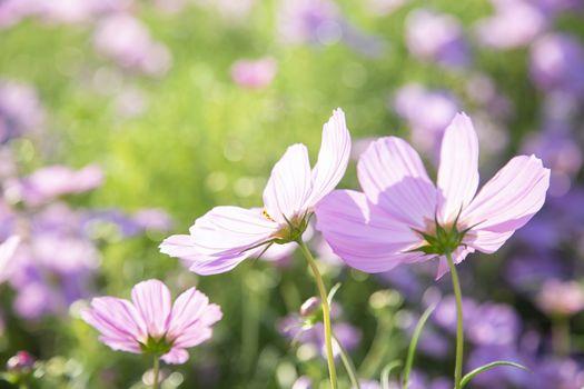 Pink cosmos flowers blooming in the garden