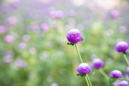 Closeup purple flowers (Gomphrena globosa) in the garden