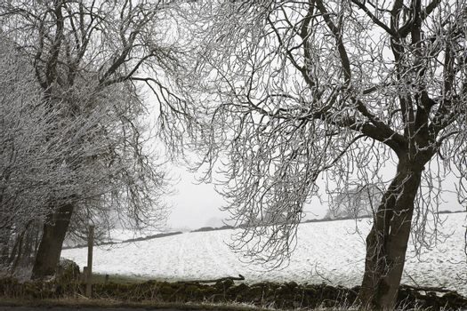 Snowcovered trees and field