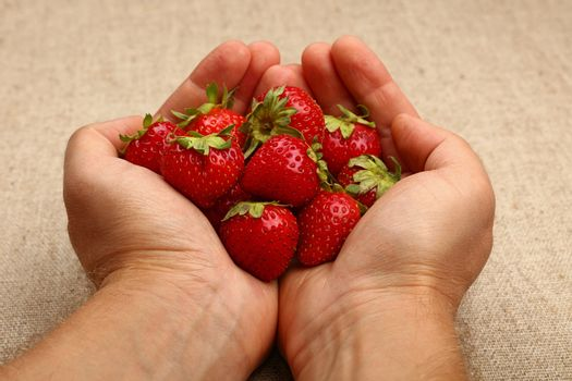 Close up man hands holding handful of fresh strawberry berries over canvas background with copy space, high angle view, personal perspective