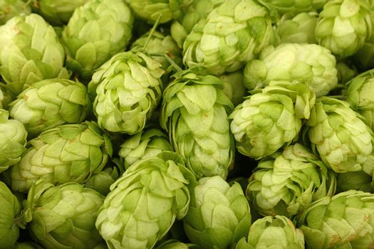 Close up full frame background pattern of fresh green hops, ingredient for beer or herbal medicine, high angle view
