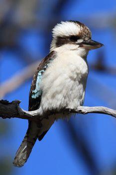 laughing kookaburra (Dacelo novaeguineae) in the natural habitat, Queensland , Australia