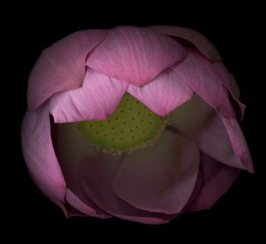 Studio shot of piing water lily