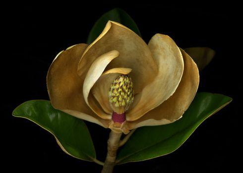 Magnolia flower cross section studio shot
