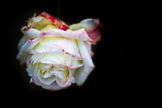 White rose isolated on black background, close up photo of beautiful rose.