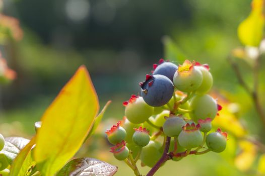 Single ripe blueberry in a cluster or ripening berries on a bush outdoors in summer sunshine in close up with copy space