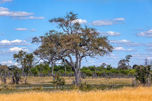 beautiful landscape in the Moremi game reserve, Okavango Delta, Botswana, Africa wilderness