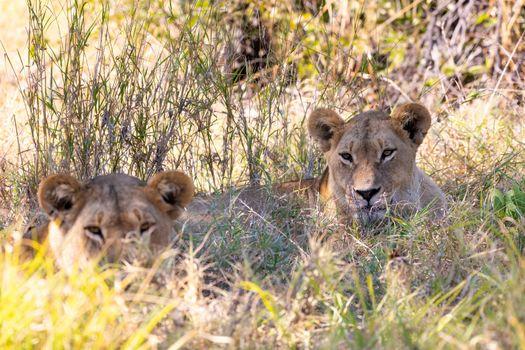 young lions (Panthera leo) without a mane resting in shade in natural habitat Savuti game reserve. Botswana Africa safari wildlife