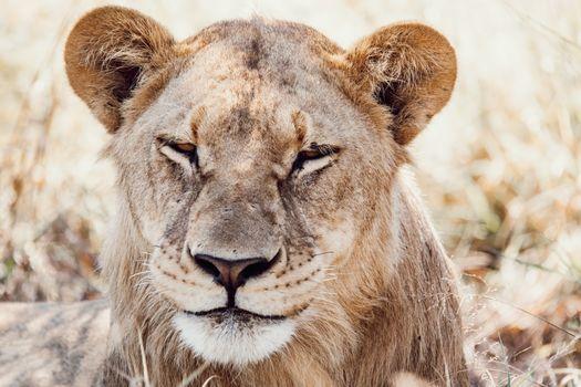 lazy lion rests in the shade (Panthera leo) in natural habitat Savuti game reserve. Botswana Africa safari wildlife
