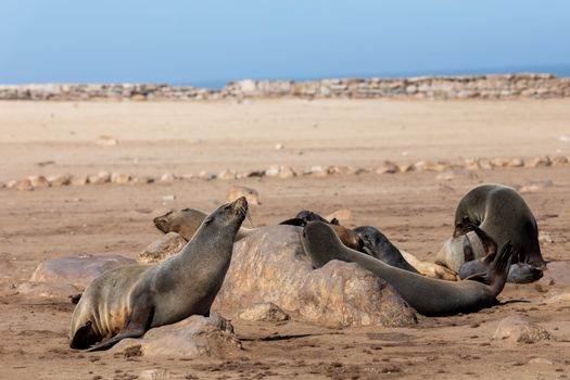brown fur seal, african carnivore in one of biggest colony in Cape Cross, Namibia safari wildlife
